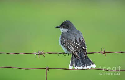 Photograph - Eastern Kingbird Perch by Cheryl Baxter