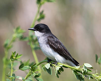 Photograph - Eastern Kingbird by Phil Spitze