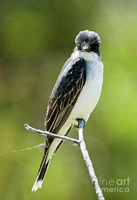 Kingbird Photograph - Eastern Kingbird Stare by Mike Dawson