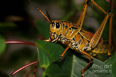 Photograph - Eastern Lubber Grasshopper by Olga Hamilton