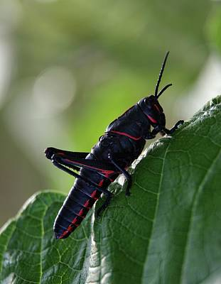 Grasshopper Photograph - Eastern Lubber Grasshopper by Richard Rizzo