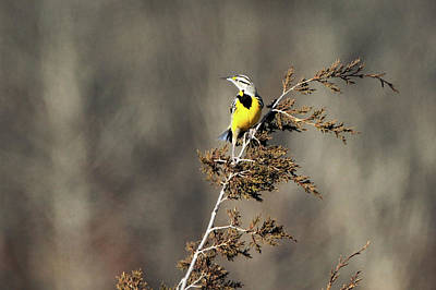 Photograph - Eastern Meadowlark Calverton New York by Bob Savage