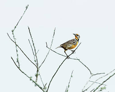 Photograph - Eastern Meadowlark II by Dawn Currie
