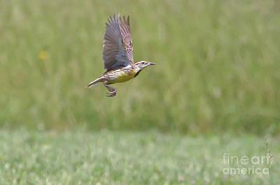 Photograph - Eastern Meadowlark In Flight by Kerri Farley