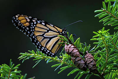 Art Print featuring the photograph Eastern Monarch by Juergen Roth