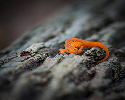 Red Eft Photograph - Eastern Newt by Chris Bordeleau