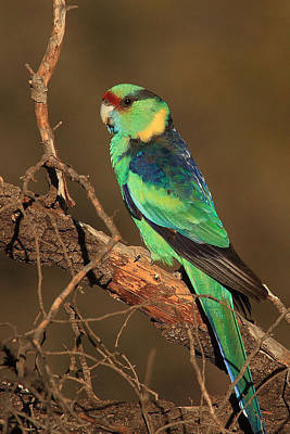 Photograph - Eastern Or Mallee Ringneck A by Tony Brown