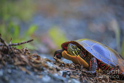 Painted Turtle Wall Art - Photograph - Eastern Painted Turtle Chrysemys Picta by Edward Fielding