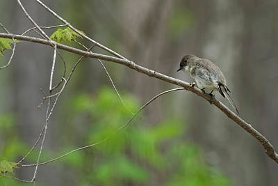 Photograph - Eastern Phoebe 2017 by Bill Wakeley