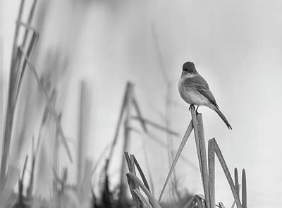 Photograph - Eastern Phoebe 2017 by Thomas Young