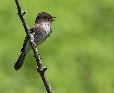 Photograph - Eastern Phoebe by Art Cole