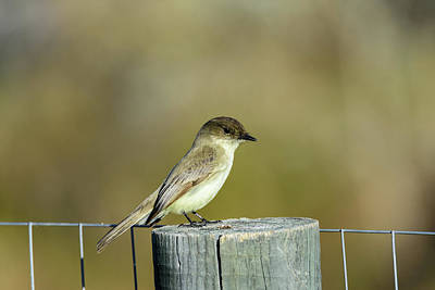 Photograph - Eastern Phoebe At Falcon State Park Of Texas by Debra Martz