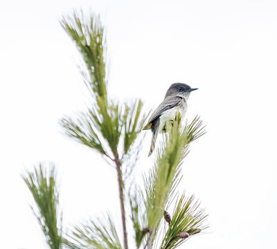 Photograph - Eastern Phoebe by Cheryl Baxter