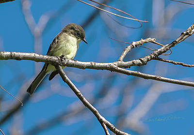 Photograph - Eastern Phoebe by Edward Peterson