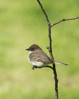 Photograph - Eastern Phoebe by Jim Zablotny
