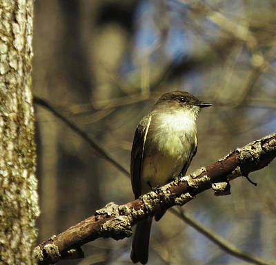 Photograph - Eastern Phoebe by Katherine White
