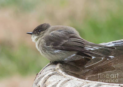 Photograph - Eastern Phoebe by Kevin McCarthy