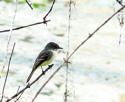 Pop Art Rights Managed Images - Eastern Phoebe Royalty-Free Image by Norman Johnson