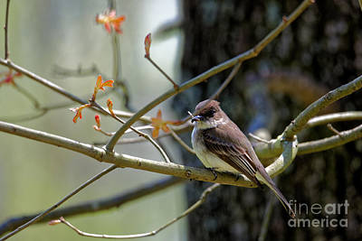 Photograph - Eastern Phoebe by Paul Mashburn