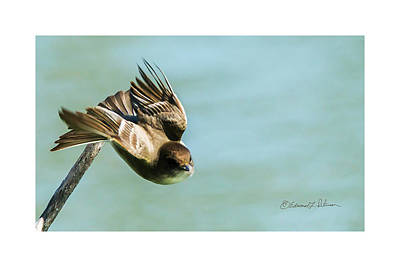 Photograph - Eastern Phoebe Takes Off by Edward Peterson