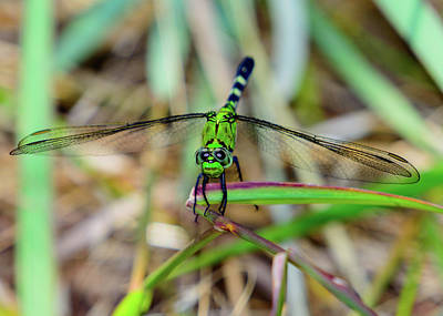 Fantasy Royalty-Free and Rights-Managed Images - Eastern Pondhawk Dragonfly Erythemis simplicicollis by Jeff Jarrett