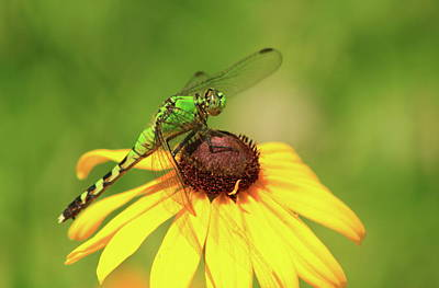 Photograph - Eastern Pondhawk Dragonfly On Black Eyed Susan by John Burk