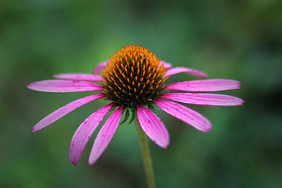 Photograph - Eastern Purple Coneflower by Ben Shields
