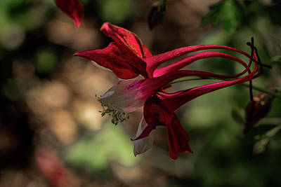 Photograph - Eastern Red Columbine by Jay Stockhaus