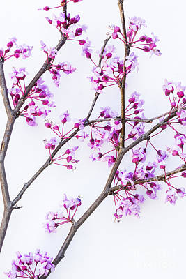 Photograph - Eastern Redbud by Elena Nosyreva
