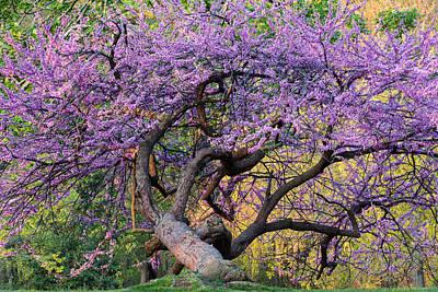 Cercis Canadensis Photograph - Eastern Redbud Arlington Virginia Spring Bloom by Mark VanDyke