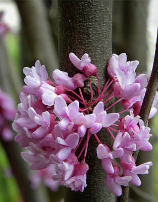 Photograph - Eastern Redbud Tree by Sandi OReilly