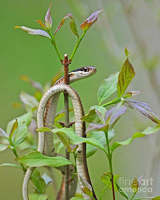 Photograph - Eastern Ribbon Snake by Joshua McCullough