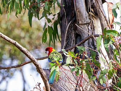 Photograph - Eastern Rosella - Canberra - Australia by Steven Ralser