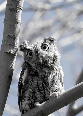 Winter Animals - Eastern Screech Owl 2 by Tracy Winter