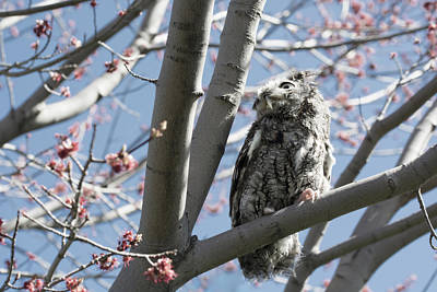 Clouds Rights Managed Images - Eastern Screech Owl 3 Royalty-Free Image by Tracy Winter