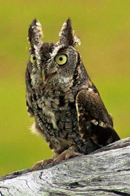 Photograph - Eastern Screech Owl by Bill Barber