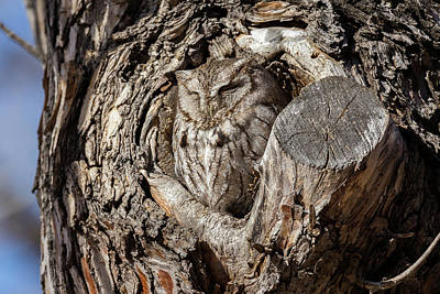 Photograph - Eastern Screech Owl Enjoying The Morning Sun by Tony Hake
