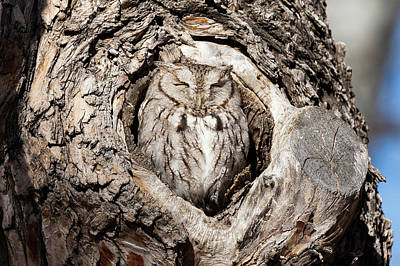 Photograph - Eastern Screech Owl Enjoys The Morning Warmth by Tony Hake