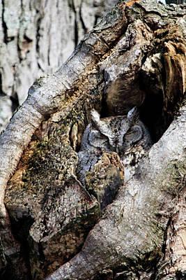 Photograph - Eastern Screech Owl Gray Morph 2 by Gary Hall