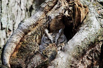 Photograph - Eastern Screech Owl Gray Morph by Gary Hall