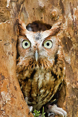 Photograph - Eastern Screech Owl by Jill Lang