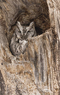 Photograph - Eastern Screech Owl by Josef Pittner