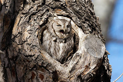 Photograph - Eastern Screech Owl Makes Some Noise by Tony Hake