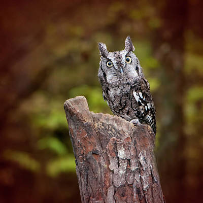 Photograph - Eastern Screech Owl No. 2 by Phyllis Taylor