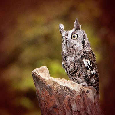 Photograph - Eastern Screech Owl by Phyllis Taylor