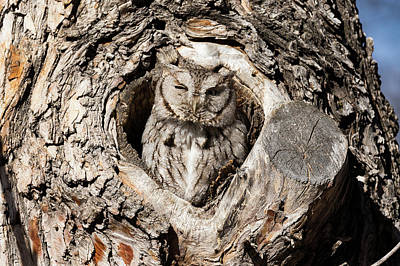 Photograph - Eastern Screech Owl Pops Tall by Tony Hake