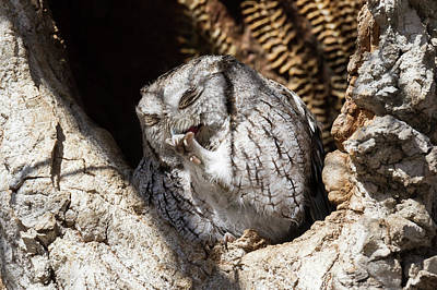 Photograph - Eastern Screech Owl Preens by Tony Hake