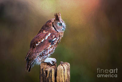 Photograph - Eastern Screech Owl Red Morph Profile by Sharon McConnell