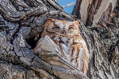 Eastern Screech-owl Roosting Art Print by Morris Finkelstein