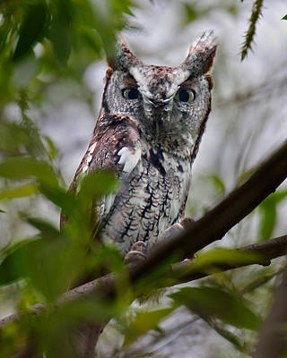 Photograph - Eastern Screech Owl by Timothy McIntyre